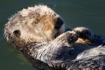 Enhydra-lutris;Resting;Sea-Otter;Sleeping;napping