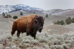 American-Bison;Bison;Bison-bison;Buffalo;One;Yellowstone-National-Park;avifauna;