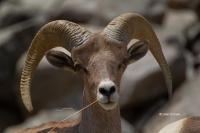 Bighorn_Sheep