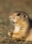 Prairie-Dog;Cynomys-ludovicianus;Black-Tailed-Prairie-Dog;One;one-animal;outdoor