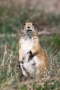 Prairie-Dog;Cynomys-lodovicianus;one-animal;close-up;color-image;photography;day