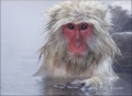 Japanese-Macaque;Snow-Monkey;Macaca-fuscata;one-animal;close-up;color-image;nobo