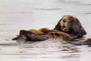 Enhydra-lutris;Feeding-Behavior;Sea-Otter;feeding