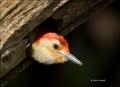 Red-bellied-Woodpecker;Florida;Everglades;Woodpecker;Nest-Hole;Melanerpes-caroli