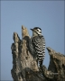 Ladder-backed-Woodpecker;Woodpecker;Texas;Southwest-USA;Picoides-scalaris;one-an
