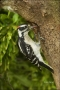 Downy-Woodpecker;Florida;Woodpecker;Picoides-pubescens;one-animal;close-up;color