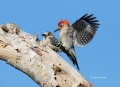 Woodpecker;Melanerpes-carolinus;Red-bellied-Woodpecker;Pair-of-Birds;aerie;eyrie