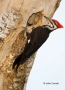 Woodpecker;Dryocopus-pileatus;Pileated-Woodpecker;One;one-animal;avifauna;bird;b