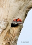 Woodpecker;Dryocopus-pileatus;Pileated-Woodpecker;two-animals;avifauna;bird;bird