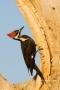 Pileated_Woodpecker