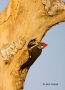 Woodpecker;Dryocopus-pileatus;Pileated-Woodpecker;Parent;Chick;bond;bonding;fami